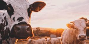 Cows TINE2